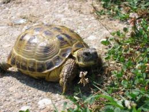Horsefield Tortoise Care Sheet