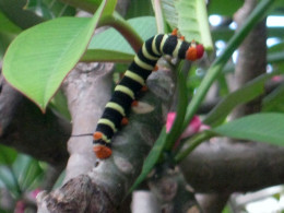 Butterfly Caterpillar