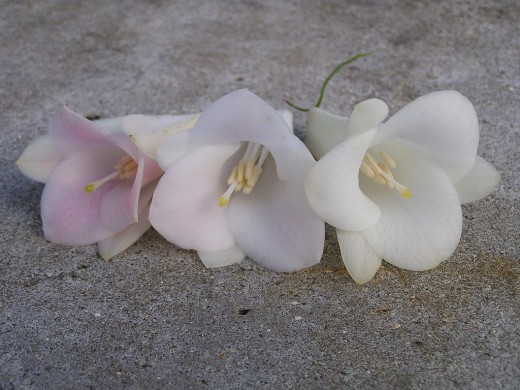 Two pure white Copihue flowers and one that is pale pink on the inside
