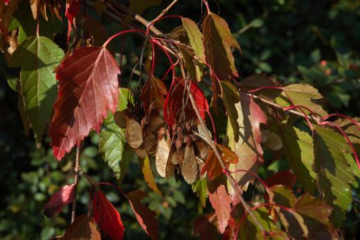 Acer ginnala (syn. Acer tataricum ssp. ginnala)