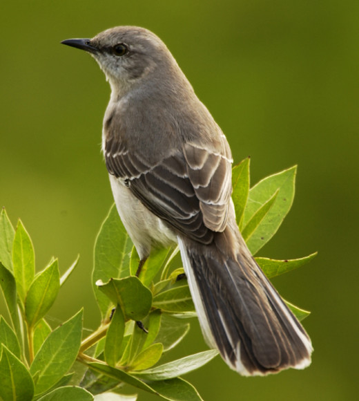 A Mockingbird