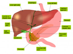 A Brief Overview of Foods That Cleanse the Liver