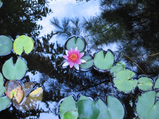 The beauty of a water lily