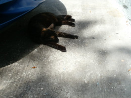 Triscuit napping under cover of my front bumper