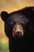 Interesting Facts About The Black Bear