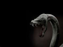 The black mamba (Dendroaspis polylepis), is the longest venomous snake in Africa, It is named for the black colour of the inside of the mouth rather than the colour of its scales which varies green to grey.   It is the fastest snake in the world.