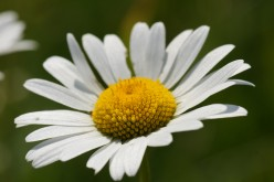 Camomile Tea - Herbal Aid to Prevent Cancer?