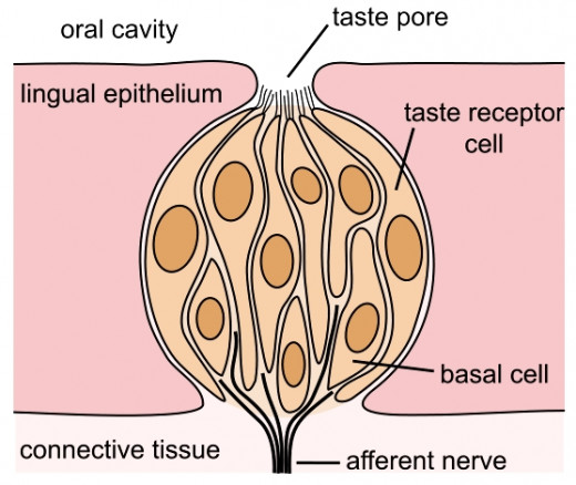 Taste buds consist of as group of special nerve cells below a pore