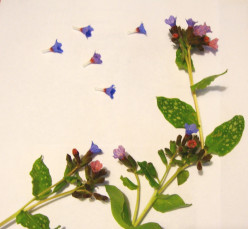 Image: Pressing Lungwort Flowers and Leaves