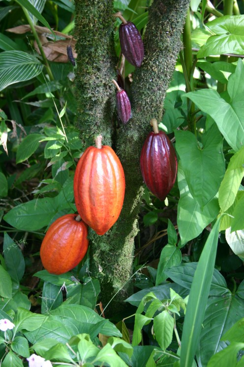 At various stages of ripeness, these hold the source of cocoa butter.
