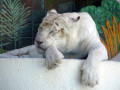 About White Tigers