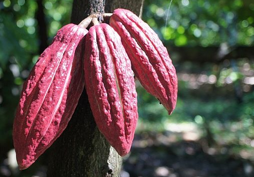 Cocoa berries ripening on the tree.