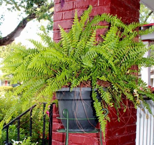 ONE OF MY MANY FERNS THAT KEEP COMING BACK