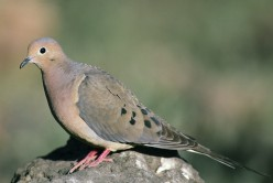 Doves: More Than Yard Birds