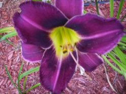 How to Plant and Care for Daylilies