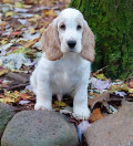 Five Hunting Dog Breeds From England