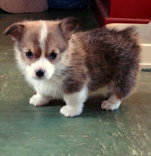 Small Corgi puppies are almost too cute.