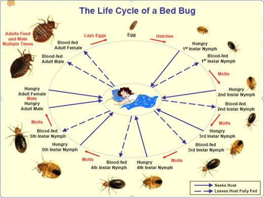 Newborn Bed Bugs