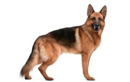 The German Shepard is a guard dog and more famously a police dog. I remember one dummer that