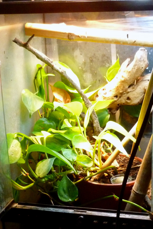 An exoterra terrarium with branches, bamboo and pothos will provide a suitable habitat for electric blue geckos.