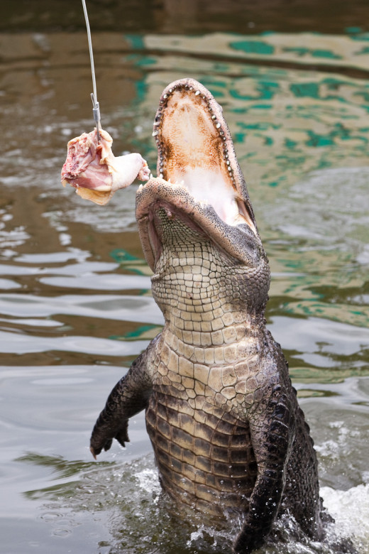 Alligators jump out of the water for meat at the Gator Jumparoo Show