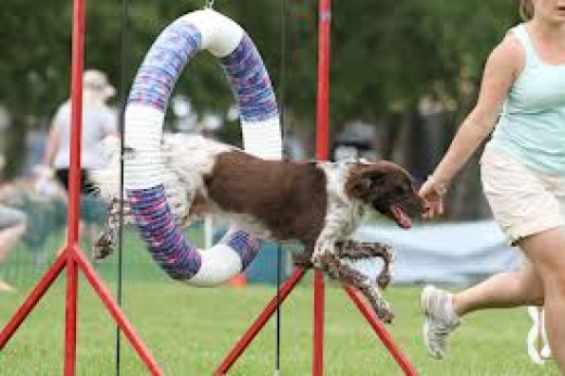 Dogs love to work and do things for their owner including participating in dog shows in front of massive crowds.