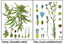 Hemp vs. Flax: Stalk to Seed