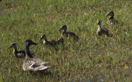 Mallard Hen with Her Ducklings