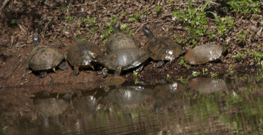 Red Eared Sliders, All in a Row