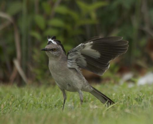 Male Mockingbird Mantling