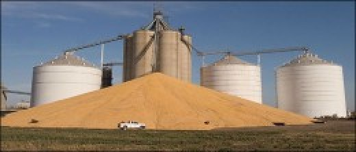 Another pile of modified corn ready to taint our food supply.