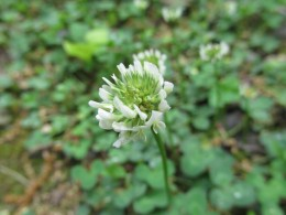 White clover is a low-growing lawn alternative that needs little mowing,  It also attracts lots of beneficial insects and bees that help pollinate lots of  vegetables and flowers.
