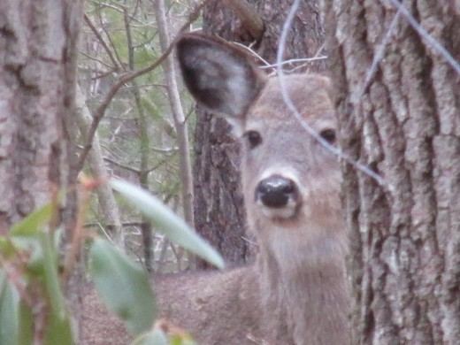 Young deer peeking through the trees at me!