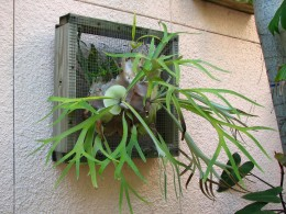 Many Staghorn Ferns are on display.
