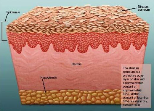 Cross section of skin