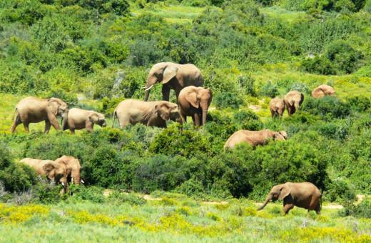 Herd grazing in Addo Elephant Park