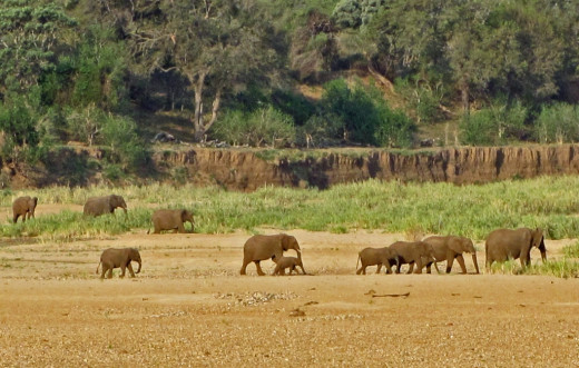 A herd on way to river