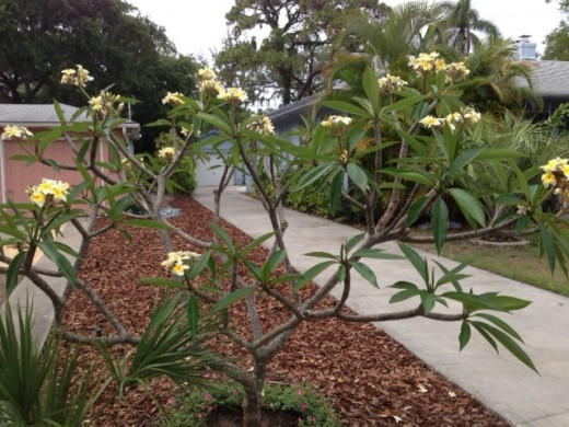 our five year old plumeria tree.