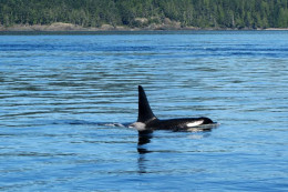 A wild orca whale. Blackfish is a name used by some Native Americans to describe the animals.