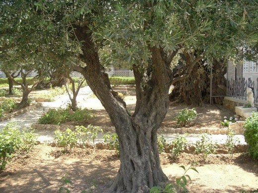 Olive tree in Garden of Gethsemane. Trees there are centuries old.