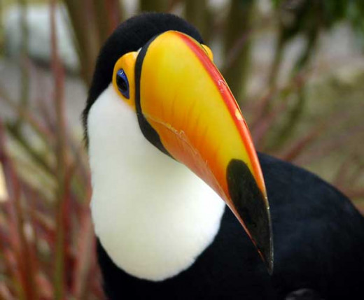 A Toucan: one of the 160 species of birds that can be seen at Birdworld in Farnham, Surrey.
