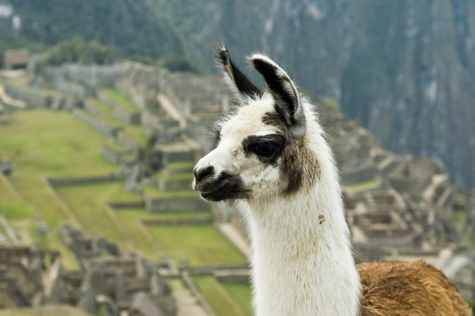 Llamas are very friendly and sociable creatures.