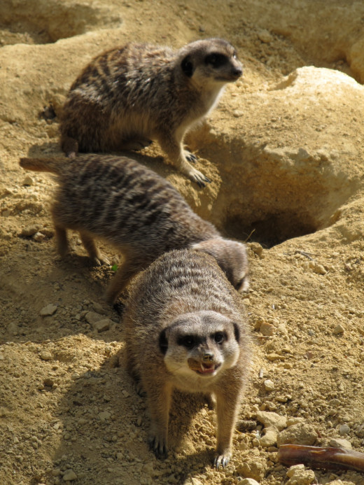 Meerkats are one of the many animals to be seen at Hobbledown Children's Farm.