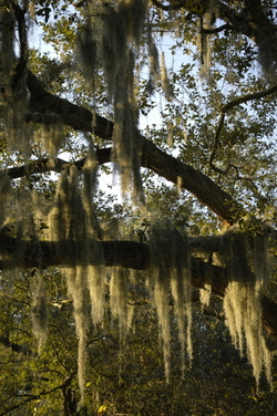 Spanish Moss in Florida
