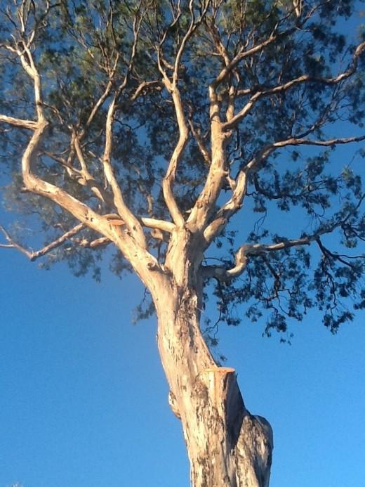 Amputated limbs...an old tree guarding Waipio Valley.