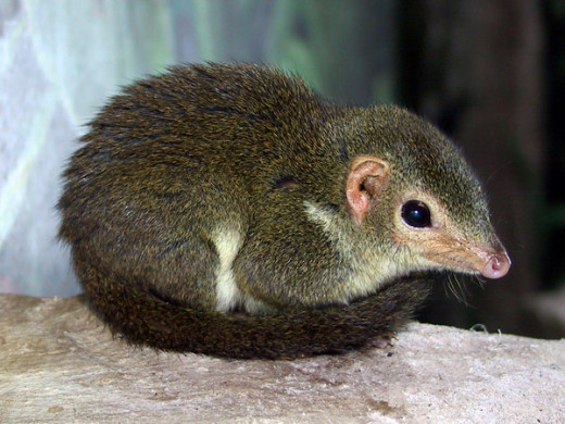 Treesha - the Tree Shrew