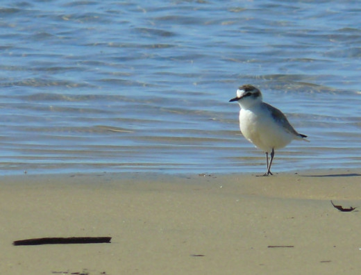 White-fronted Plover in Cefani