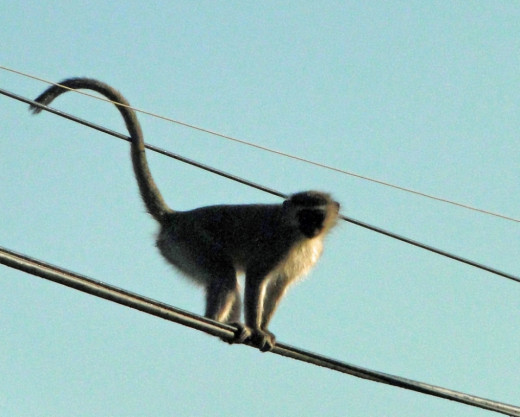 Vervet Monkey- balansing act
