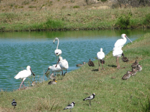 Summer visitors now somewhere in north. Spoonbill