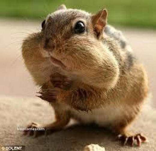 When humans eat like chipmunks, their cheeks sag like empty bags over time.